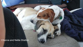 Two medium sized brown and white dogs cuddling and sleeping