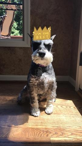 A medium grey dog named Macy