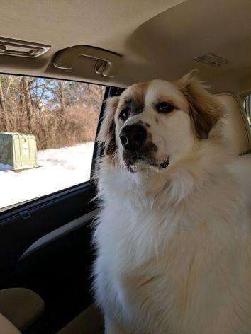 A large fluffy dog named Beckman