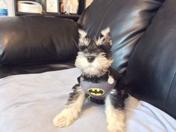 A dog named Kaiser dressed in a batman harness
