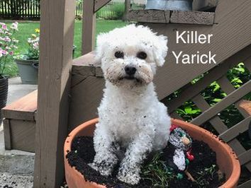 A fluffy white dog named Killer who was digging in a flower pot