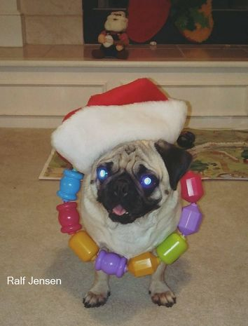 A white and black pug named Ralf dressed up in a hat and necklace
